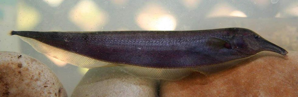 South American knifefish