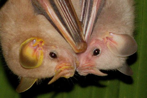 Two MacConnell's Bats (Mesophylla macconnelli), one of various forms feeding on fruit