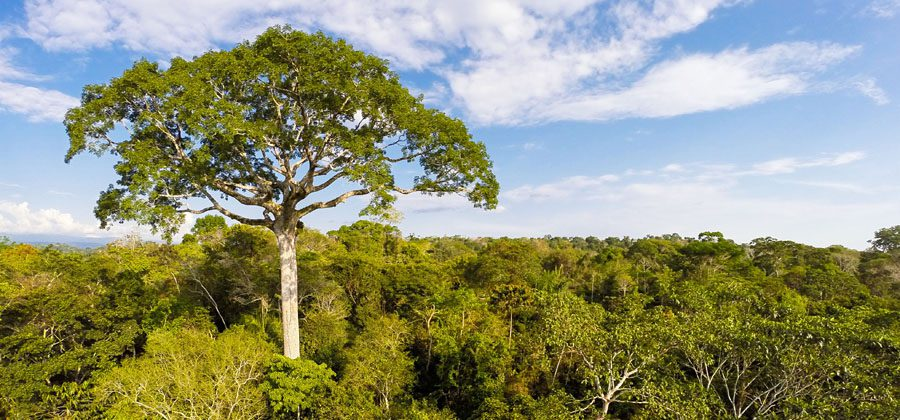 The signature tree: a Lupuna (kapok tree, Ceiba pentandra, Malvaceae, Bombacoideae) that is 50 m tall and over 300 years old Photograph: Konrad Wothe (taken with a quadcopter